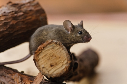 House mouse extermination